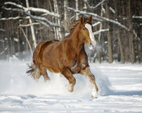 Horse winter. Havy horse in a winter galloping Stock Image