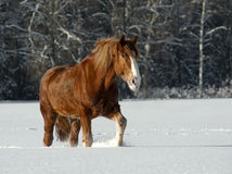 Horse in winter. Heavy horse in a winter stock photos