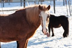 Horse in winter Royalty Free Stock Image