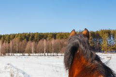 A horse field stands with its back and looks towards the forest royalty free stock photography