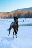 The horse in the winter stroll. The horse walked on frost of minus forty degrees Celsius Stock Photo