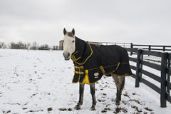 Horse in winter wearing coat. Stock Images