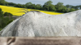 Horse withers Royalty Free Stock Photography