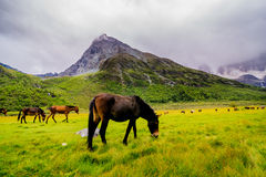 Horse in Yading Nature Reserve. a famous landscape in Daocheng. Sichuan, China royalty free stock photography
