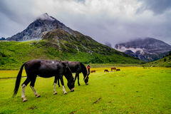 Horse in Yading Nature Reserve. a famous landscape in Daocheng. Sichuan, China royalty free stock image