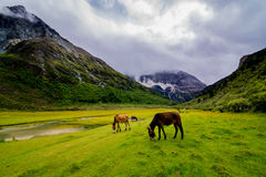 Horse in Yading Nature Reserve. a famous landscape in Daocheng. Sichuan, China stock images