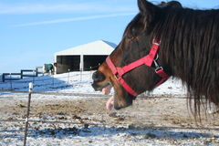 Horse Yawn Royalty Free Stock Photo