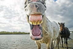 Horse yawning. A comical funny photo of an appaloosa stallion horse yawning and showing his dirty teeth and gums Royalty Free Stock Image