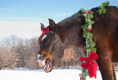 Horse yawning while wearing a Christmas wreath royalty free stock image