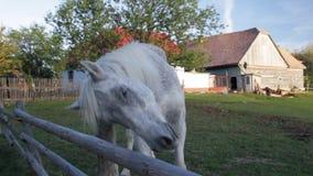 Horse yawning stock video