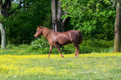 Horse in yellow wildflowers Royalty Free Stock Photography
