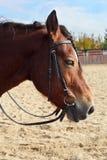 Horse. Young brown beautiful horse closeup Stock Photo