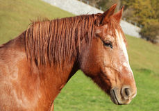 Horse. Young brown horse walks on the farm Royalty Free Stock Photos