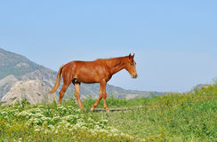 Horse. Young chestnut horse walking on a meadow in the mountains Royalty Free Stock Photo