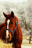 Horse. Young horse on the field,hay Royalty Free Stock Images