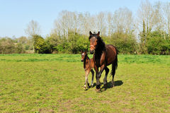 Horse with young foal Royalty Free Stock Photography