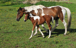 Horse with young foal stock photos