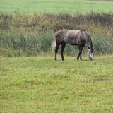 Horse. Young gray dapple horse on summer pasture Stock Images