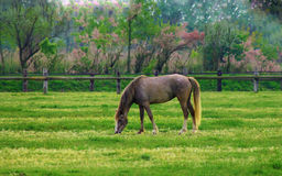 Horse. Young horse is grazing in a pasture Royalty Free Stock Images