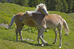 Horse youngster. Two horse youngster on a mountain meadow Stock Photos