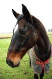 horse1 Fotografering för Bildbyråer