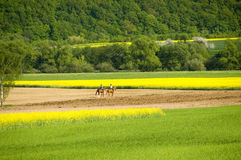 Horseback excursion. Two horsewomen in a fresh green springtime scenic between blooming canola fields. With space for copy royalty free stock image