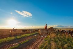 On horseback shepherds graze cows. Cowherd riding horses drive a herd of cows across a rural field in the rays of a warm summer sun at sunset royalty free stock photography