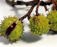 Horsechestnut. Horsechestnuts about to open Stock Image