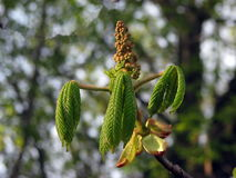 Horsechestnut new green leaves Royalty Free Stock Photo