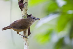 Horsefields Babbler Royalty Free Stock Image
