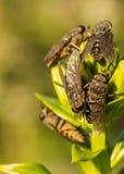 horseflies Stockfotos