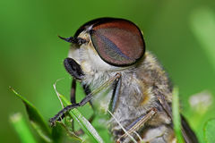 Horsefly. Detail of horsefly sitting in the grass Royalty Free Stock Photo