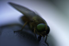 Horsefly. Macro shot of Horsefly(focus on the eyes with very short depth of field Stock Photo
