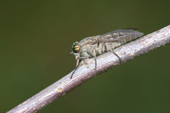 Horsefly Royalty Free Stock Photography