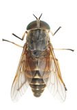 Horsefly Stock Images