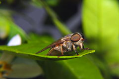 Horsefly. Sits on a green leaf Royalty Free Stock Image