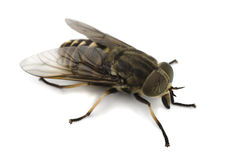 Horsefly. On a white background Stock Photography