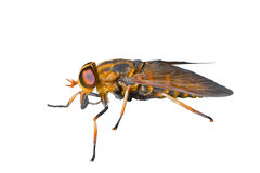 Horsefly 4 Stock Images