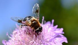 horsefly Lizenzfreies Stockbild