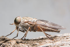 Horsefly. Housefly / horsefly / breeze flies / deer fly Royalty Free Stock Photos