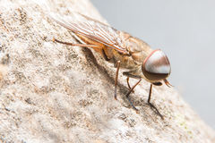 Horsefly Royalty Free Stock Photo