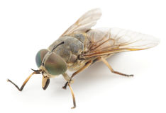 Horsefly, isolated Royalty Free Stock Photos