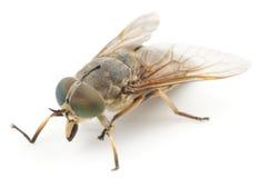 Horsefly, isolated Royalty Free Stock Photos