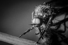 Horsefly in macro and monochrome. Stock Image