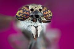 Horsefly macro photography Royalty Free Stock Image