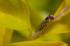 Horsefly na gałąź drzewo Obraz Royalty Free