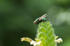 Horsefly on plant. Green horsefly on plant with blurred green background Royalty Free Stock Photography