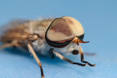 Horsefly Portrait on a Blue Background. Up Close Portrait of a House Fly on a Blue Surface and Background Royalty Free Stock Photos