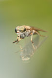 Horsefly with reflection. On a glass Stock Images
