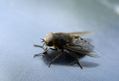 Horsefly. Sits on the hood of the car, close-up Royalty Free Stock Images